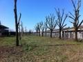 Potatura alberi alto fusto (15)